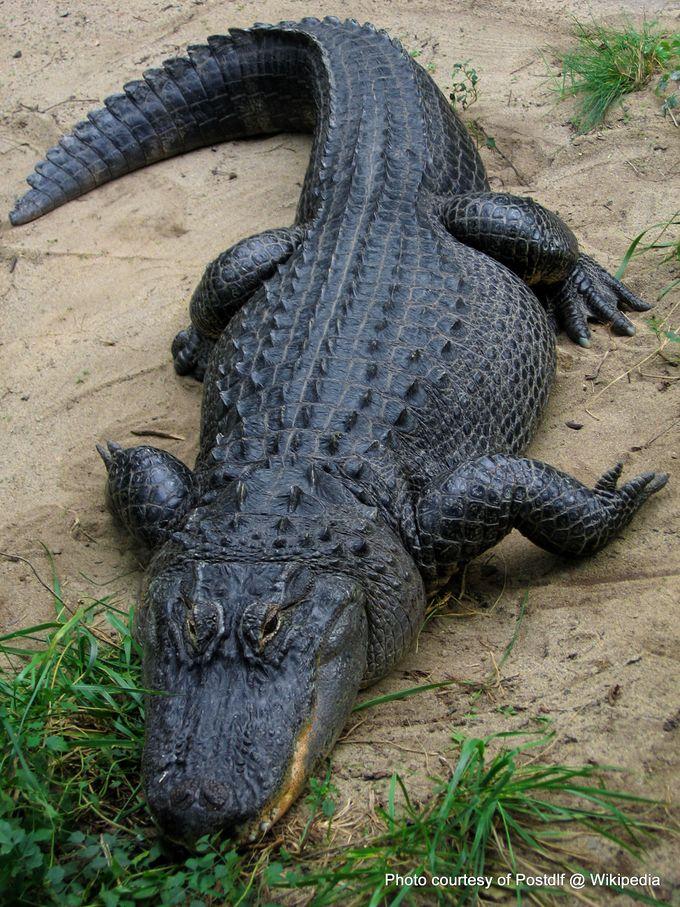 1-American Alligator.jpg