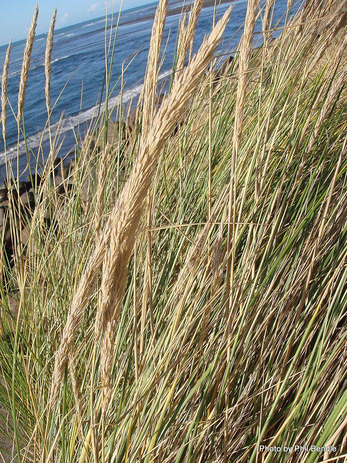 1-Ammophila arenaria Marram grass-003.JPG