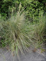 Phil Bendle Collection:Ammophila arenaria (Marram grass) Exotic