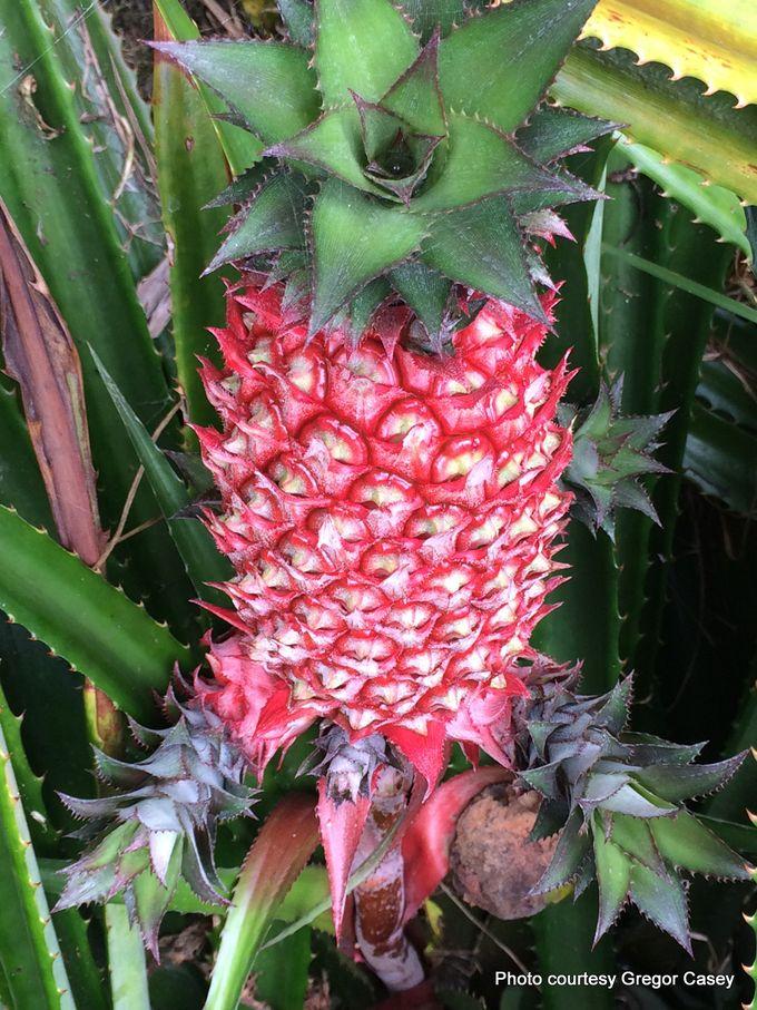 1-Ananas bracteatus 1 -001.JPG