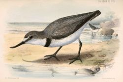 Phil Bendle Collection:Wrybill (Anarhynchus frontalis)