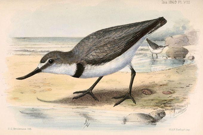1-Anarhynchus frontalis 1869.jpg