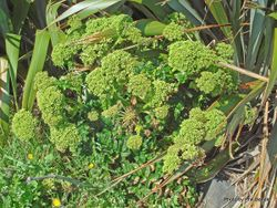 Phil Bendle Collection:Angelica pachycarpa (Portuguese angelica)
