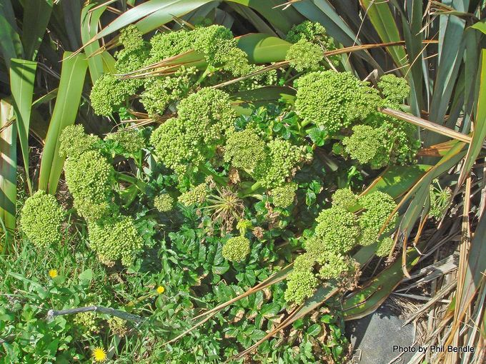 1-Angelica pachycarpa 5.jpg