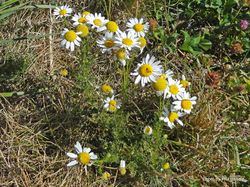 Phil Bendle Collection:Anthemis arvensis (Mayweed) Corn chamomile