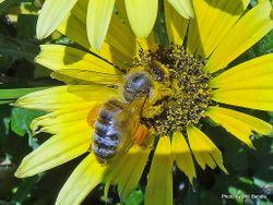 Phil Bendle Collection:Bee (Dark Honey Bee) Apis mellifera mellifera