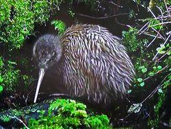 Phil Bendle Collection:Kiwi (Rowi) Apteryx rowi .