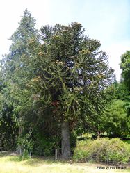 Phil Bendle Collection:Araucaria araucana (Monkey Puzzle Tree)