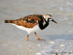 Phil Bendle Collection:Turnstone (Ruddy) Arenaria interpret