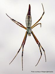 Phil Bendle Collection:Tailed Grass Spider (Argiope protensa)