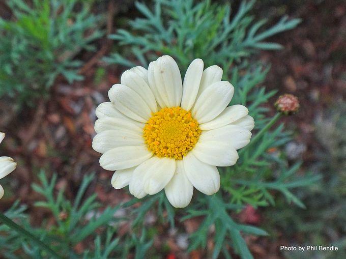 1-Argyranthemum frutescens Paris daisy -004.JPG
