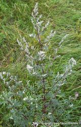 Phil Bendle Collection:Artemisia vulgaris (Mugwort)