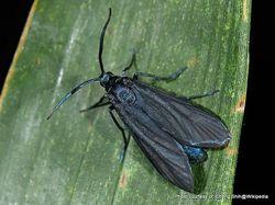 Phil Bendle Collection:Artona martini (Bamboo moth)