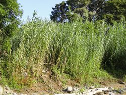 Phil Bendle Collection:Arundo donax (Giant Reed)