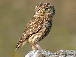 Phil Bendle Collection:Owl (Little owl) Athene noctua vidalii)