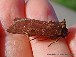 Phil Bendle Collection:Austramathes purpurea (Small-Eyed Owlet moth)