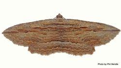 Phil Bendle Collection:Austrocidaria gobiata