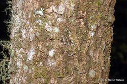 Phil Bendle Collection:Austrocidaria similata (Dark coprosma carpet moth)