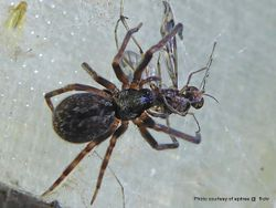 Phil Bendle Collection:House spider (Black) Badumna insignis