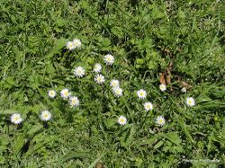Phil Bendle Collection:Bellis perennis (Common daisy)