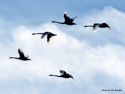 Phil Bendle Collection:Swan (Black) Cygnus atratus