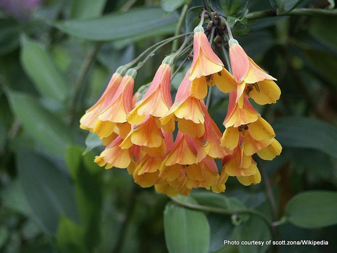 1-Bomarea multiflora 01.jpg