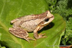 Phil Bendle Collection:Frog (BrownTree frog) Litoria ewingii