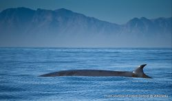 Phil Bendle Collection:Whale (Bryde s whale) Balaenoptera brydei