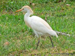 Phil Bendle Collection:Heron (Cattle Egret) Bubulcus ibis