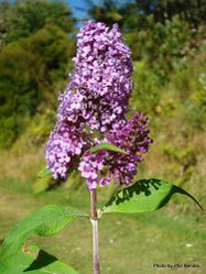 Phil Bendle Collection:Buddleja davidii (Butterfly Bush)
