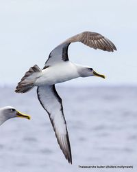 Phil Bendle Collection:Albatross (Bullers mollymawk) Thalassarche bulleri