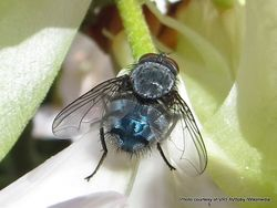 Phil Bendle Collection:Fly (Blowfly, Bluebottle) Calliphora vomitoria