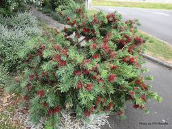 Phil Bendle Collection:Melaleuca viminalis Little John
