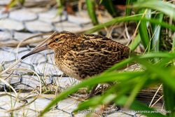 Phil Bendle Collection:Snipe (Campbell Island) Coenocorypha aucklandica perseverance