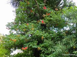 Phil Bendle Collection:Campsis radicans × Campsis grandiflora (Trumpet Vine)