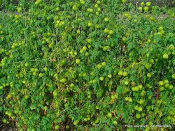 Phil Bendle Collection:Cardiospermum halicacabum (Small balloon vine)