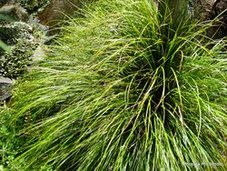 Phil Bendle Collection:Carex dissita (Purie) Native