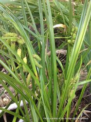 Phil Bendle Collection:Carex geminata (Wetland cutty grass) Native