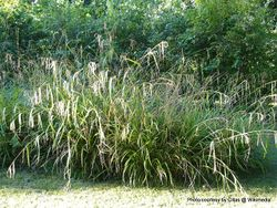 Phil Bendle Collection:Carex pendula (Hanging sedge)