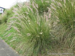 Phil Bendle Collection:Cenchrus setaceus (Fountain Grass)