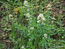 Phil Bendle Collection:Valeriana officinalis (Common Valerian)