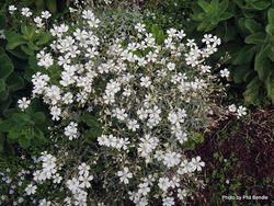 Phil Bendle Collection:Cerastium tomentosum (Snow-in-Summer)