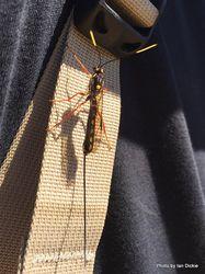 Phil Bendle Collection:Wasp (Native parasitic wasp) Certonotus fractinervis