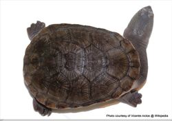 Phil Bendle Collection:Turtle (Northern snake-necked) Chelodina oblonga