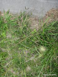 Phil Bendle Collection:Chloris truncata (Windmill grass) Exotic