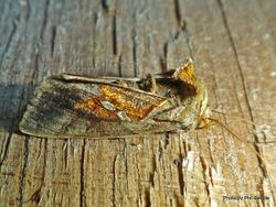 Phil Bendle Collection:Chrysodeixis eriosoma (Green garden looper moth)
