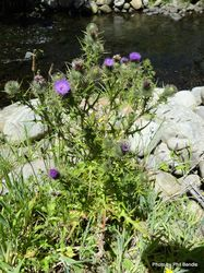 Phil Bendle Collection:Cirsium vulgare (Scotch Thistle)