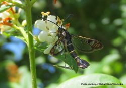 Phil Bendle Collection:Synanthedon tipuliformis (Clearwing moth)