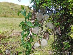 Phil Bendle Collection:Clematis paniculata (Puawhananga)