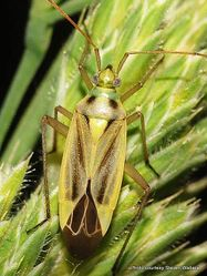Phil Bendle Collection:Bug (Potato mirid) Closterotomus norvegicus